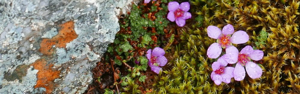 Tiny alpine flowers, with raindrops on their petals, next to a rock covered in lichen